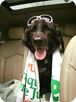 Flat-Coated Retriever Dog for adoption in Alpharetta, Georgia - Chaim