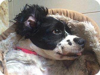 Cocker Spaniel Mix Dog for adoption in Monrovia, California - Lady