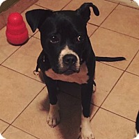 Boxer Mix Dog for adoption in Bronx, New York - Prince Ali