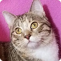 Domestic Shorthair Kitten for adoption in Colfax, Iowa - Jessa