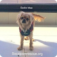 Adopt A Pet :: Sadie Mae - Studio City, CA
