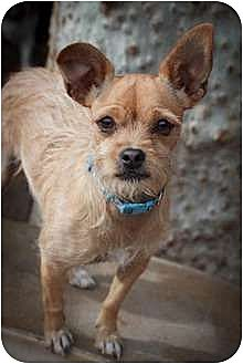 Pug/Terrier (Unknown Type, Medium) Mix Puppy for adoption in Apple Valley, California - Short Stuff aka Shortie-ADOPTED!