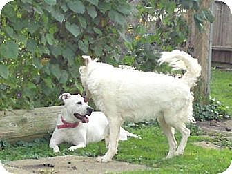 Australian Shepherd Dog for adoption in Cleveland, Ohio - HOUSTON