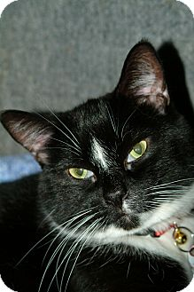Domestic Mediumhair Cat for adoption in Cleveland, Ohio - Mambo