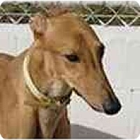 Adopt A Pet :: Heffy - St Petersburg, FL