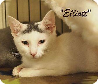 Domestic Shorthair Kitten for adoption in Ocean City, New Jersey - Elliot