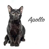 Bengal Cat for adoption in Laconia, Indiana - Apollo