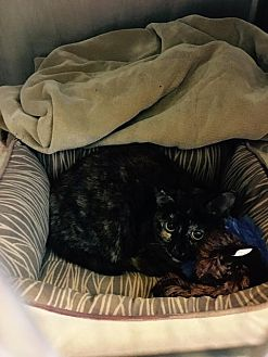 Domestic Shorthair Cat for adoption in Bourbonnais, Illinois - Nelly