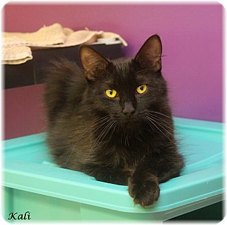 Domestic Mediumhair Cat for adoption in Welland, Ontario - Kali