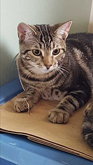 Domestic Shorthair Cat for adoption in Harrison, New York - Deirdre
