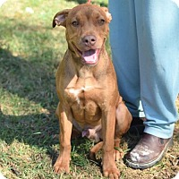 Boxer/Hound (Unknown Type) Mix Puppy for adoption in Providence, Rhode Island - Clay RH CP