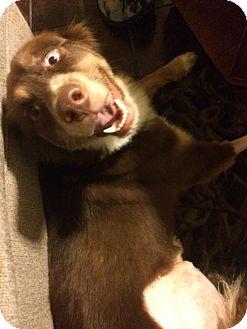 Australian Shepherd Mix Dog for adoption in ROSENBERG, Texas - Amir