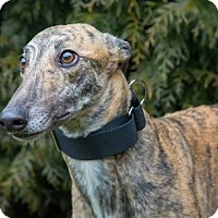 Greyhound Dog for adoption in Seattle, Washington - Nada
