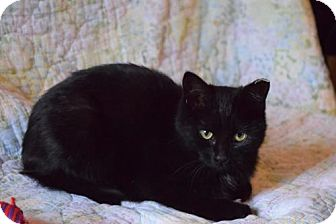 Domestic Shorthair Cat for adoption in Columbus, Indiana - ALICE