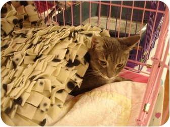Domestic Shorthair Cat for adoption in Chesapeake, Virginia - Snuggles