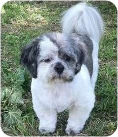 Shih Tzu Dog for adoption in Mays Landing, New Jersey - Herbie-VA