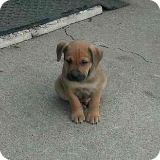 Labrador retriever mix puppies for sale in michigan