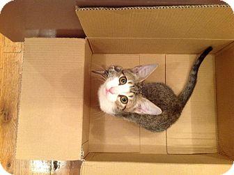 Domestic Shorthair Kitten for adoption in Brooklyn, New York - Percy