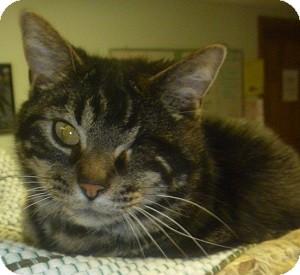 Domestic Shorthair Cat for adoption in Hamburg, New York - Travis