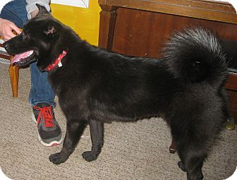 Schipperke Mix Dog for adoption in Prole, Iowa - Mariah