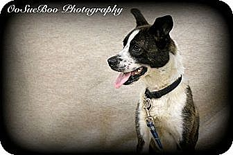 Rat Terrier/Terrier (Unknown Type, Medium) Mix Dog for adoption in Detroit, Michigan - Tippy