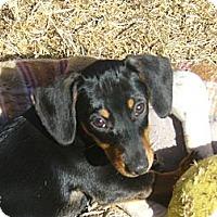 Adopt A Pet :: Priscilla Puppy - San Jose, CA