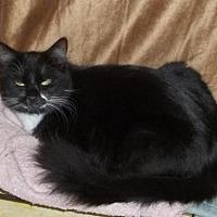 Domestic Mediumhair Cat for adoption in Sarasota, Florida - Lex