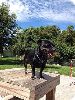 Dachshund/Chihuahua Mix Dog for adoption in Miami, Florida - Chunk