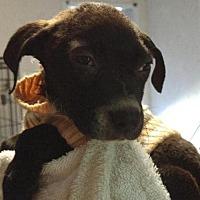 Boxer/Labrador Retriever Mix Dog for adoption in Jefferson, Texas - Agatha 'Aggie