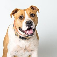 American Staffordshire Terrier/Beagle Mix Dog for adoption in Santa Paula, California - Tina
