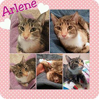 Domestic Shorthair Cat for adoption in Arlington/Ft Worth, Texas - Arlene
