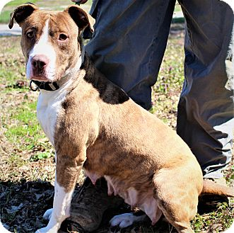 American Pit Bull Terrier Mix Dog for adoption in Glastonbury, Connecticut - Lily Jewell