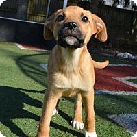 Adopt A Pet :: Pearl - Mechanicsburg, PA