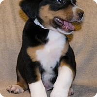 Adopt A Pet :: Quill - Bellevue, NE