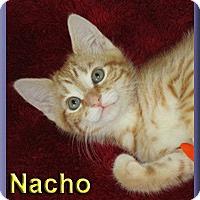 Adopt A Pet :: Nacho - Aldie, VA
