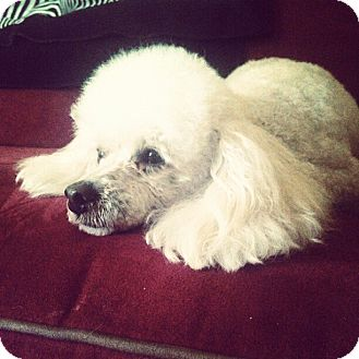 Poodle (Miniature) Dog for adoption in Hagerstown, Maryland - Boo