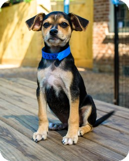 Labrador Retriever/Beagle Mix Puppy for adoption in Norwalk, Connecticut - Tucker