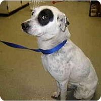 Adopt A Pet :: Abbey - Milwaukee, WI