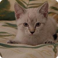 Adopt A Pet :: Simon - Lighthouse Point, FL