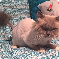 Adopt A Pet :: Kimba - Beverly Hills, CA