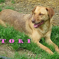 Labrador Retriever/German Shepherd Dog Mix Dog for adoption in Columbia, Tennessee - Tori