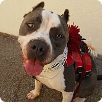 American Pit Bull Terrier Mix Dog for adoption in Saugus, California - Nikova
