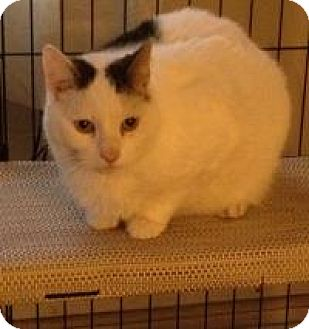 Manx Cat for adoption in Newark, Delaware - Petey
