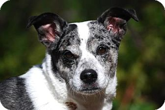 Australian Cattle Dog/Jack Russell Terrier Mix Dog for adoption in Bellevue, Washington - Bella Blue