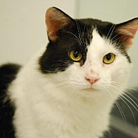 Domestic Shorthair Cat for adoption in Ft. Lauderdale, Florida - Oreo