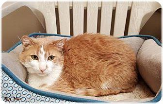 Domestic Shorthair Cat for adoption in Welland, Ontario - Big Mac