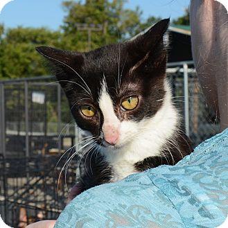 American Shorthair Kitten for adoption in Hopkinsville, Kentucky - Tux