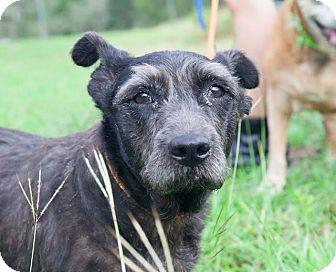 Schnauzer (Standard)/Kerry Blue Terrier Mix Dog for adoption in New York, New York - Luna