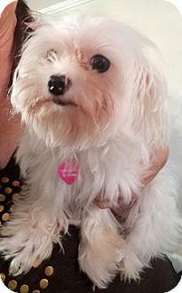 Maltese Mix Dog for adoption in Cincinnati, Ohio - Snowwhite &Coconut