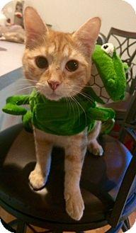 Domestic Shorthair Kitten for adoption in Chapel Hill, North Carolina - Carrots